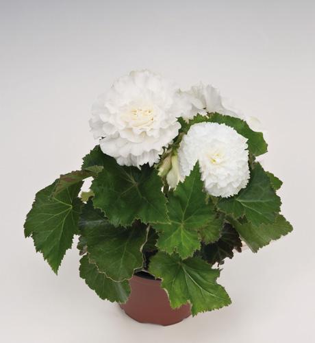 Begonia tuberosa Nonstop White