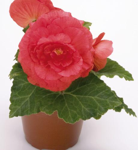 Nonstop Rose
