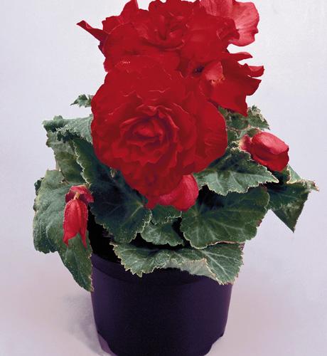 Begonia tuberosa Nonstop Red