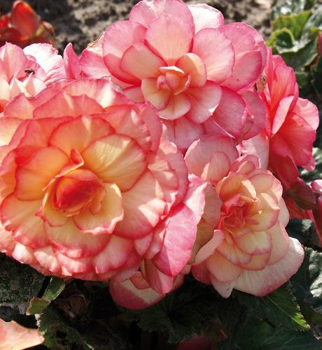 Cameleon Creme Rose