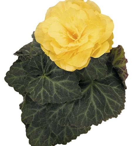 Mocca Yellow