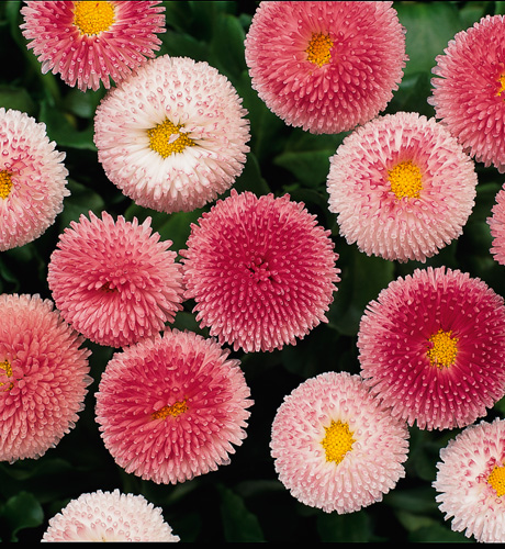 Bellissima Rose Bicolor