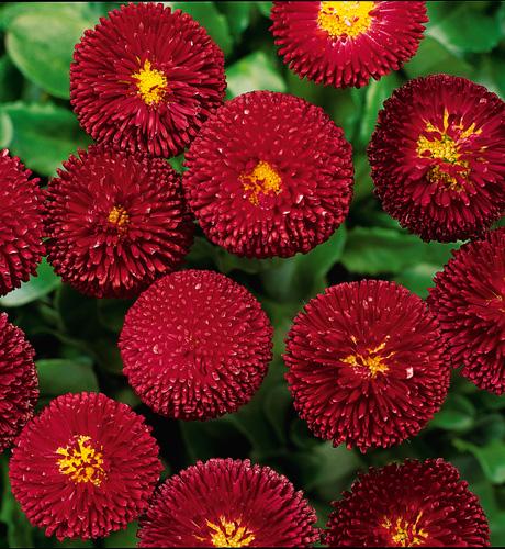 Bellissima Red