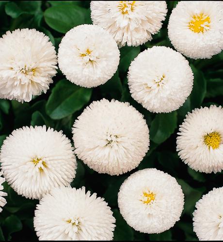 Bellissima White