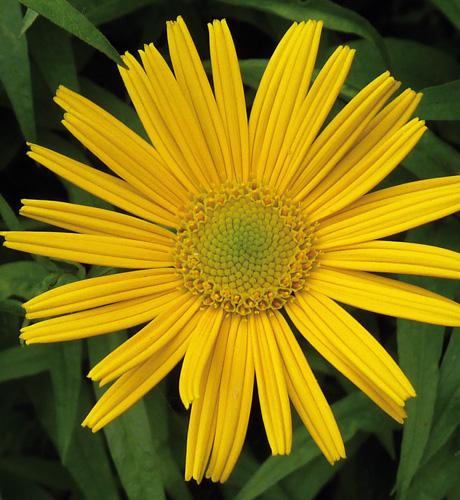salicifolium
