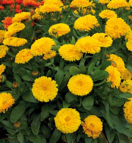 Gitane Yellow