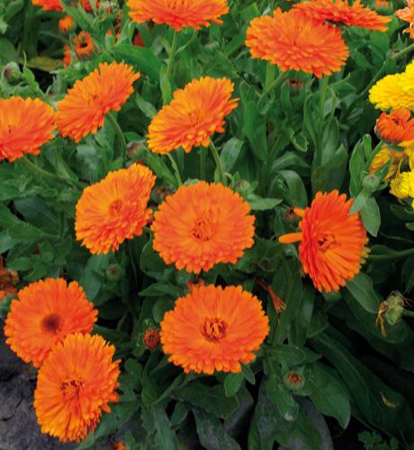 Gitane Orange
