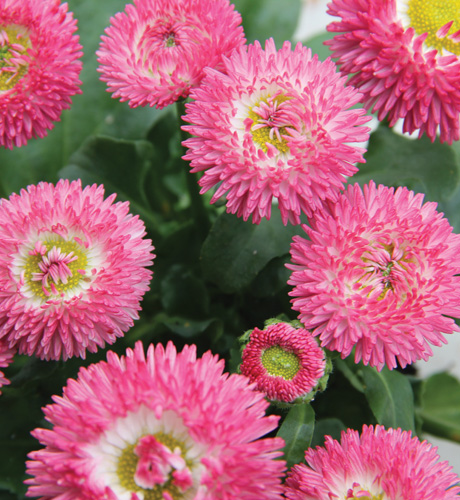 Bellis perennis Bellina Red Bicolour