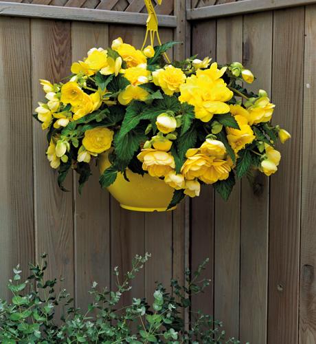 Begonia tuberosa Nonstop Joy Yellow
