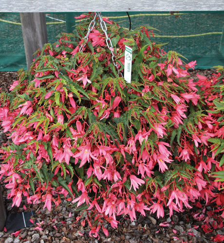 Begonia boliviensis Prominent Rose Improved