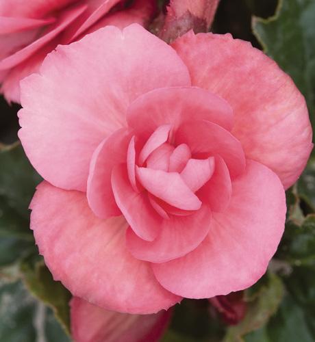 Charisma Pink