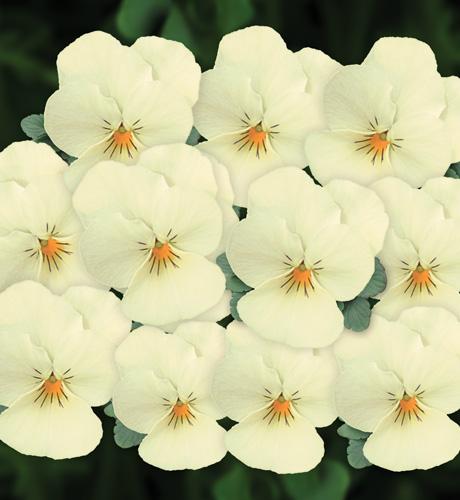 Viola cornuta Butterfly Cream