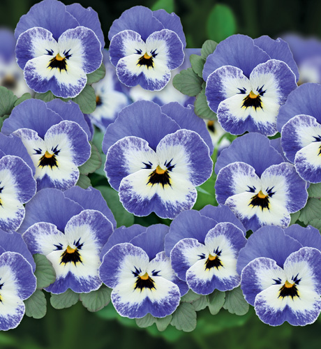 Viola cornuta Butterfly Blue White Eye