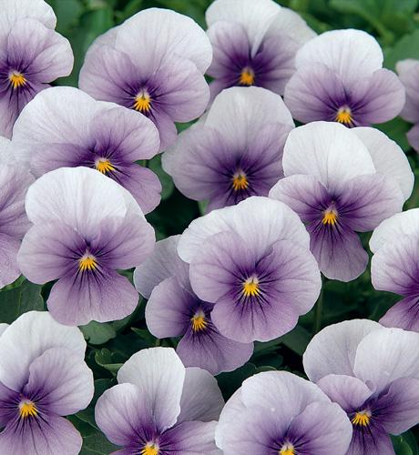 Viola cornuta Butterfly Lavender