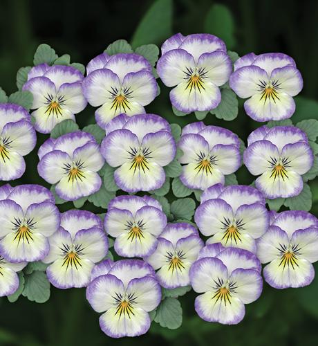 Viola cornuta Butterfly Blue Ice