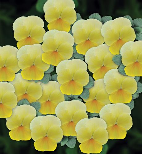 Viola cornuta Butterfly Lemon