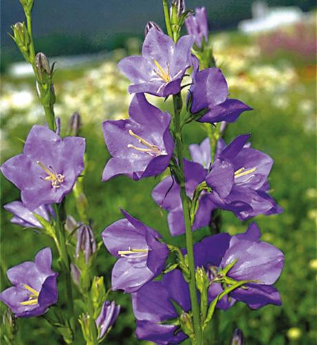 persicifolia Blue