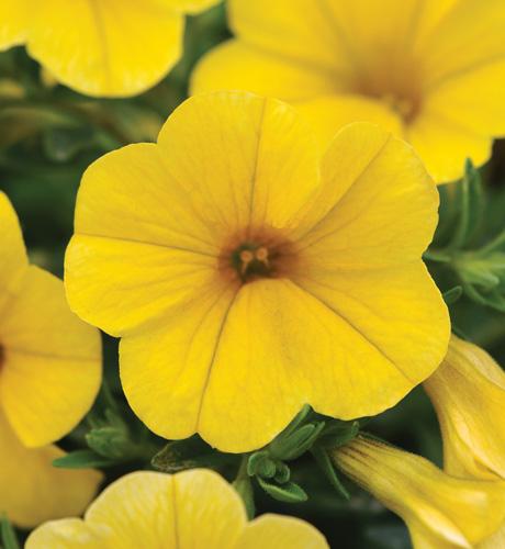 Kabloom Yellow