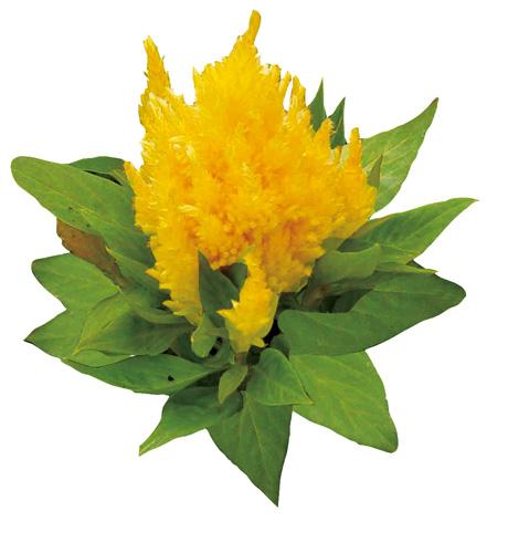 Kisha Yellow Gold