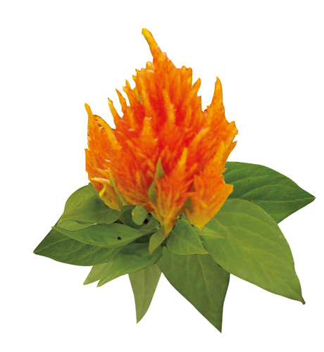 Kisha Orange