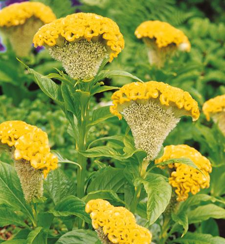 Bombay Yellow Gold