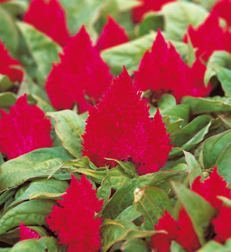 Kimono Cherry Red