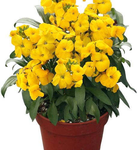 Chica XL Yellow