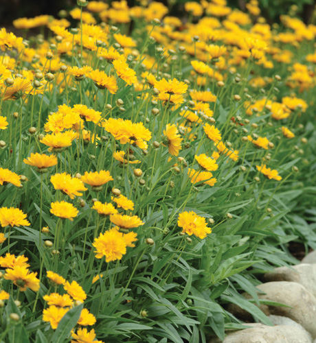 *Coreopsis grandiflora Early Sunrise