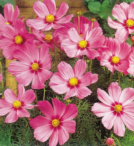 Sonata Pink Blush