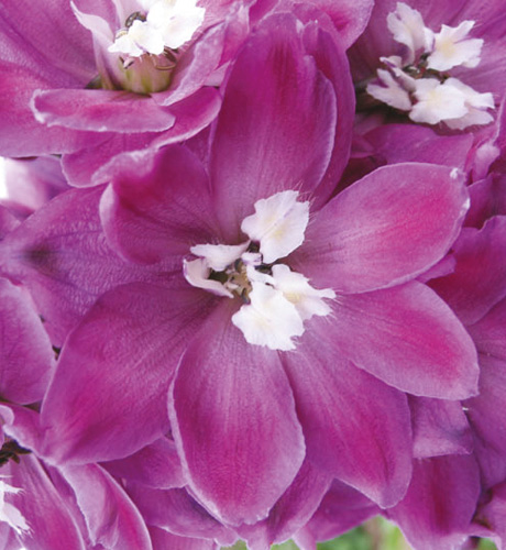 Fantasy Lilac Rose & White