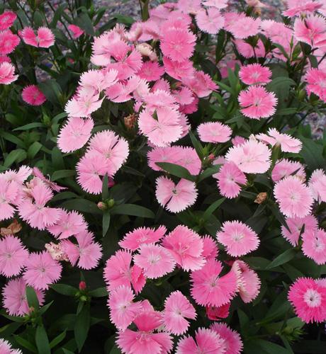 Dichi Pink Bicolor