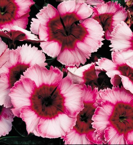 Dianthus chinensis Super Parfait Raspberry