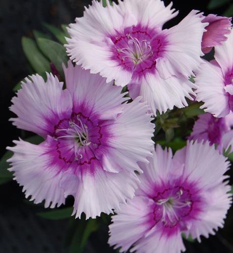 Diana Lavender Picotee