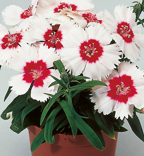 Diana Red White