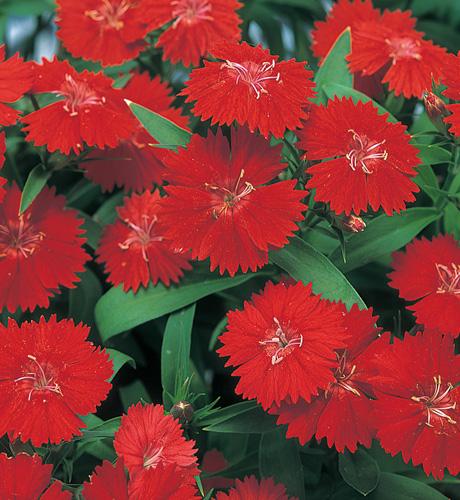 Telstar Crimson