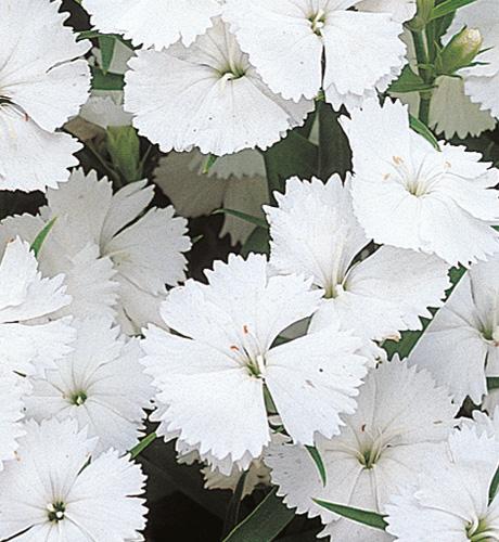 Telstar White