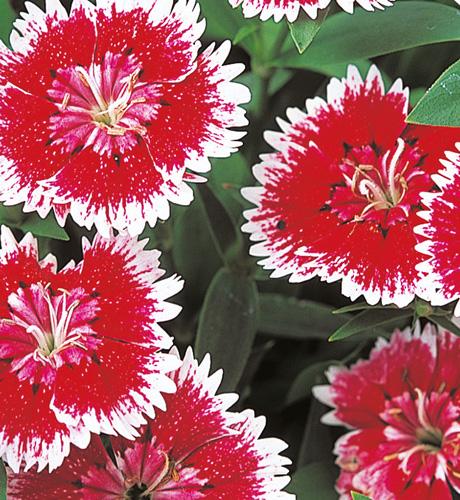 Telstar Picotee Red / White