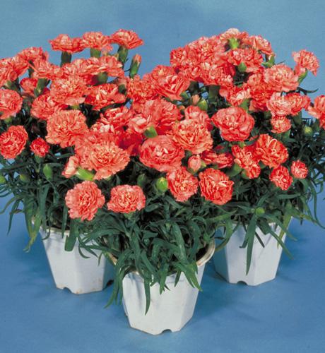Lillipot Orange Bicolor