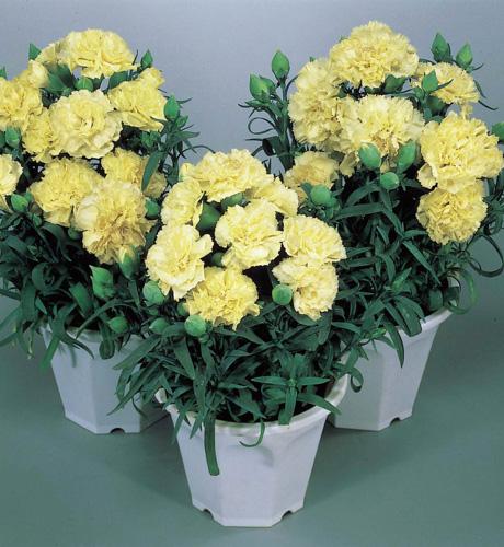 Lillipot Yellow