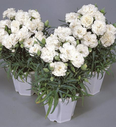 Lillipot White