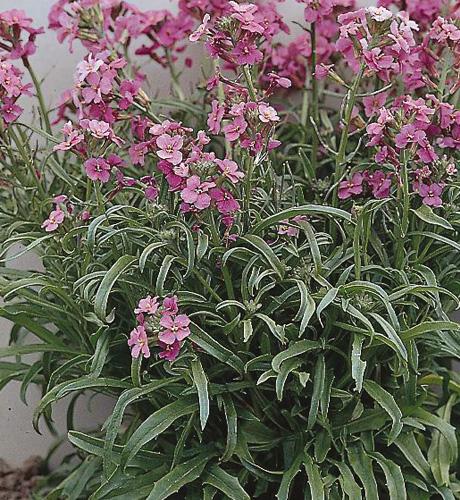 linifolium Lila