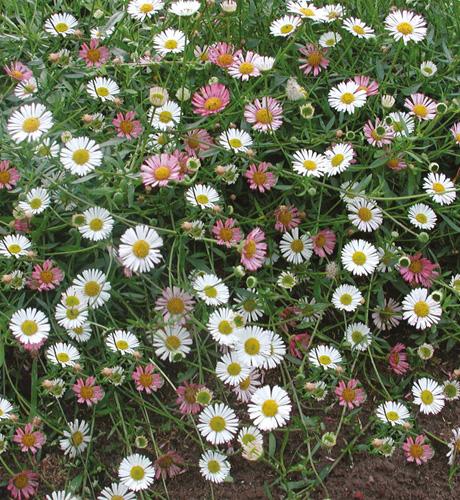 Erigeron karvinskianus Blütenmeer
