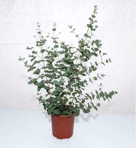 Eucalyptus gunnii Silbertropfen