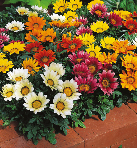 Gazania rigens Kiss Mix