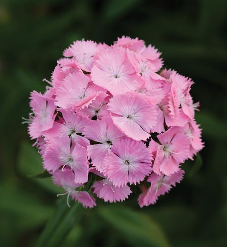 Gigas White Rose Bicolor