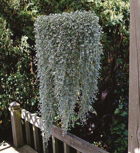 Dichondra micrantha Silver Falls