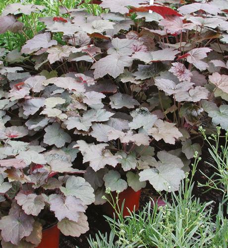 Heuchera micrantha Palace Purple