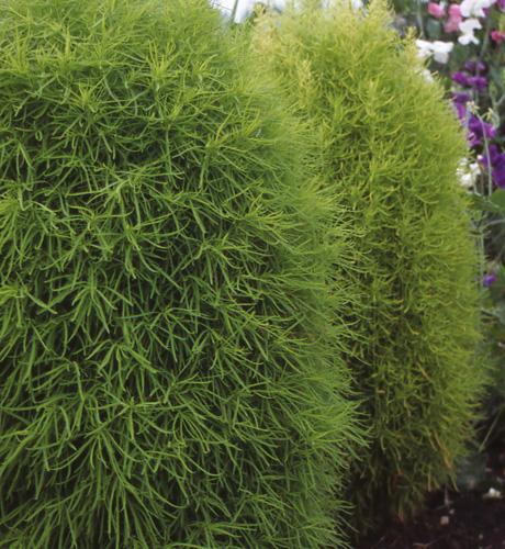 Trichophylla