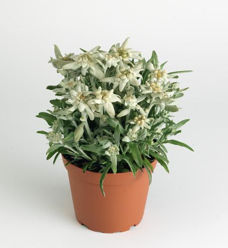 alpinum