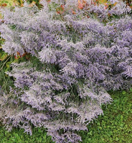 latifolium
